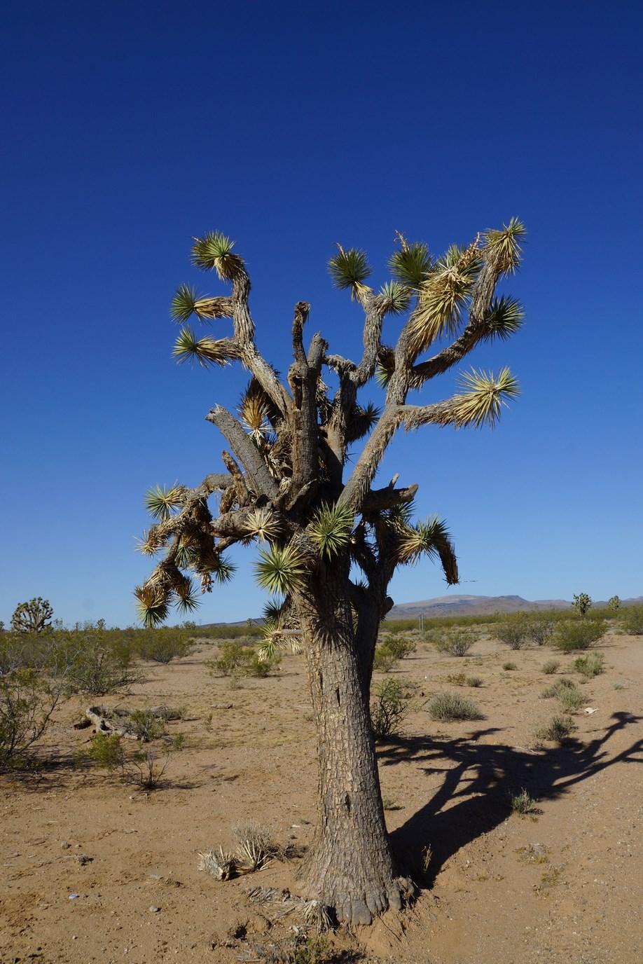 L'arbre de Joshua, un des rares êtres en vie sur la route désertique