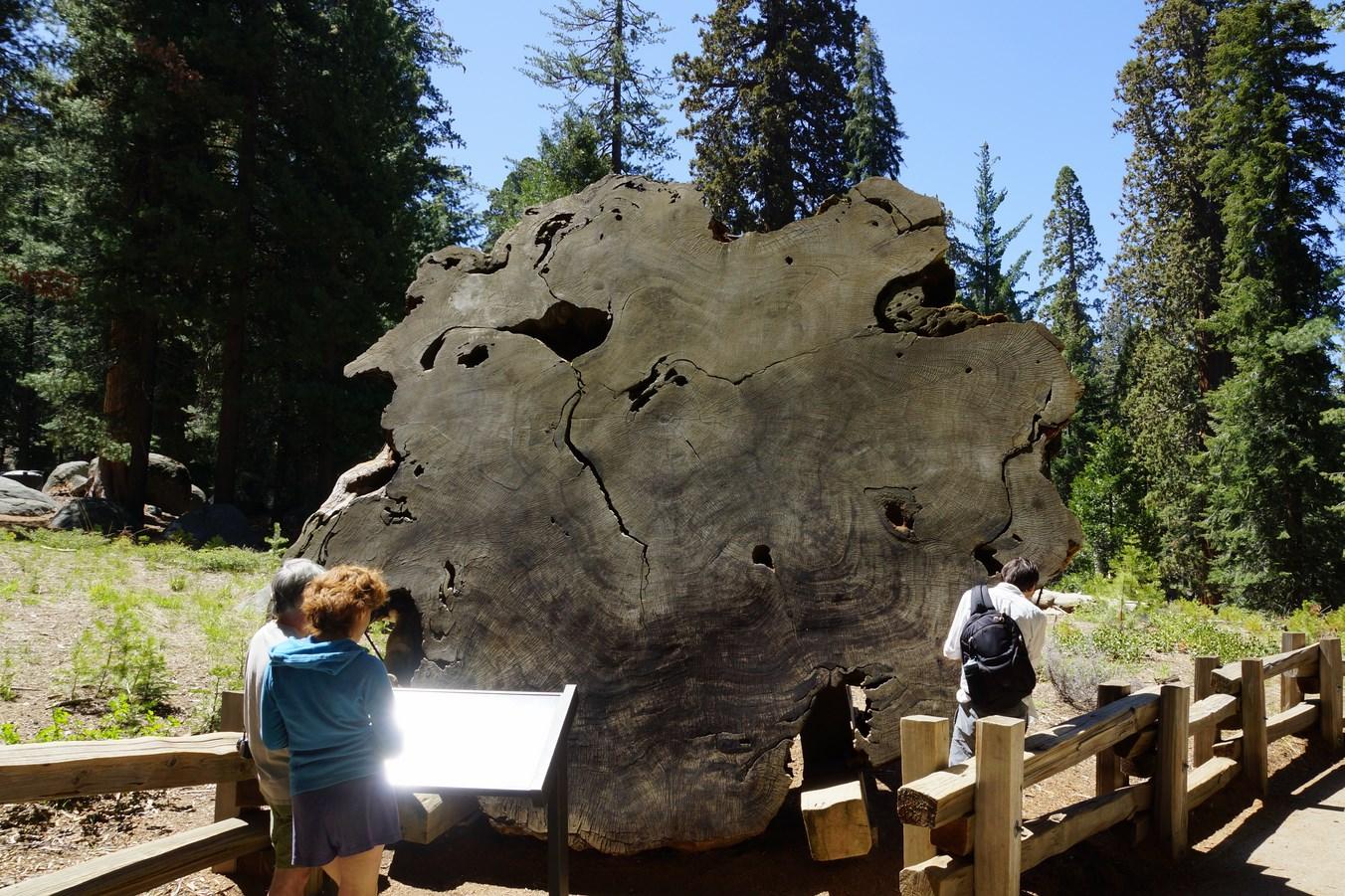 Le tronc d'un sequoia vieux de plus de 2200 ans lorsqu'il a été coupé