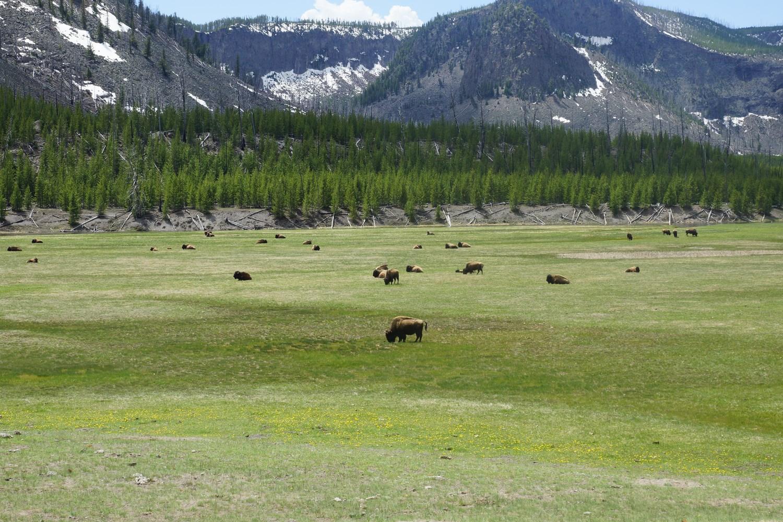 Les troupeaux de bisons sont en liberté dans le parc