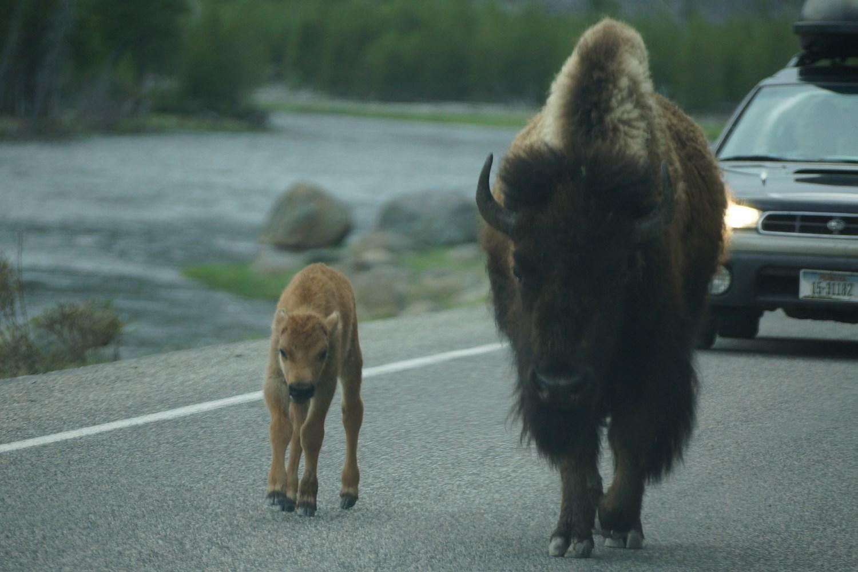 Une maman et son tout jeune veau (ils naissent normalement en avril-mai) se promène tranquillement sur les routes du parc de Yellowstone